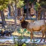 Reindeer in Grand Canyon